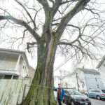 ELDERLY ELM: Matt Largess, owner of Largess Forestry, stands in front of the giant American elm tree at 100 Garfield St. in Central Falls. With a trunk measuring 16 feet, 6 inches in circumference, 90 feet high and a 120-foot crown spread, it is among the oldest and largest in the state. Largess estimates the tree sprouted prior to the Civil War. / PBN PHOTO/MICHAEL SALERNO