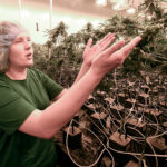 MEDICINAL USE: Lead grower Elizabeth Keyser explains growing medical marijuana plants with special lighting during a tour of the Curaleaf medical cannabis cultivation and processing facility in Ravena, N.Y., in August. / AP FILE PHOTO/HANS PENNINK