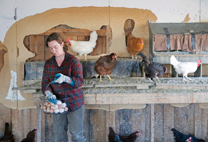 ALL IN ONE BASKET: Heather Retberg collects eggs at the Quill's End Farm in Penobscot, Maine, in this 2016 file photo. Debate is heating up in Maine over state legislation that requires cage-free facilities for chickens that lay eggs for commercial consumption.  / AP FILE PHOTO/ROBERT F. BUKATY