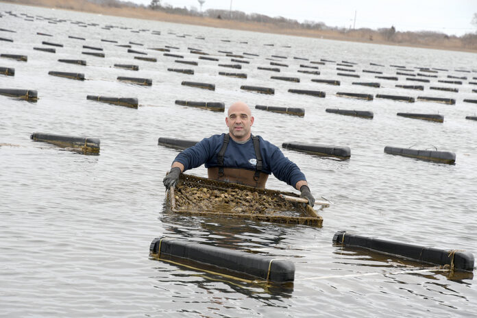 FRESH HARVEST: Perry Raso, owner of Matunuck Oyster Bar in South Kingstown, pulls up oysters from his oyster farm located near the restaurant. / PBN PHOTO/MIKE SKORSKI