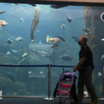 SINKING FEELING: A visitor to the Alaska SeaLife Center in Seward, Alaska, passes an exhibit at the aquarium and research center. A majority of visitors used to be cruise ship passengers, but most cruises have been canceled because of the ­pandemic. / ANCHORAGE DAILY NEWS VIA AP/MARC LESTER