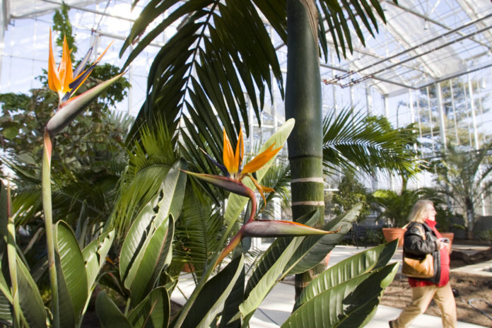 THE CONSERVATORY, at 12,000 square feet, with a 40-foot ceiling, is New England's largest indoor public garden. Above, a palm soars behind a flowering bird of paradise.  /