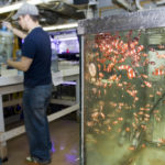 TIM ARCAND cleans carboys used for algae as behind him, clown fish swim in one of the tanks in the marine biology lab at Roger Williams University. /