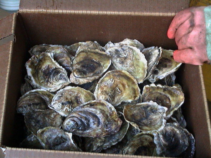 OYSTERS GROWN at Moonstone Oysters' farm are ready to be shipped. /