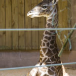 BABY BOY GIRAFFE was welcomed into the world this month at Roger Williams Park Zoo. /
