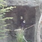 SPIRIT AND GLORY, the pair of bald eagles that have lived at the zoo since 2004, now have 1,000 square feet of Atlas cedars and other plants native to their natural habitat, encircled by a new stream. /