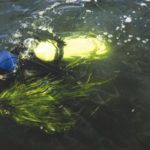 A DIVER RESURFACES after collecting eelgrass shoots in Narragansett Bay for use in a local habitat-restoration project. /