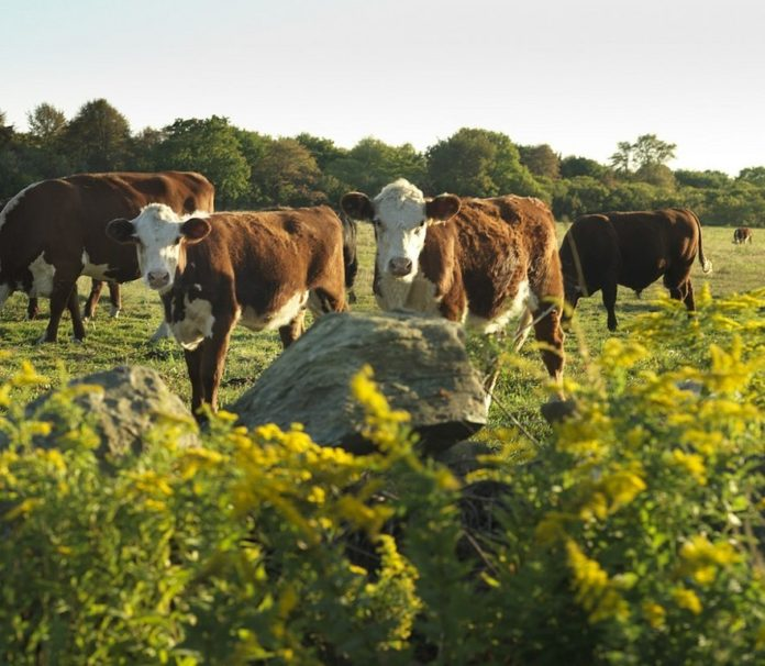 COWS WILL GRAZE the fields at Treaty Rock Farm for the foreseeable future, thanks to the $3.6 million purchase of conservation and development rights to most of the 120-acre property. /