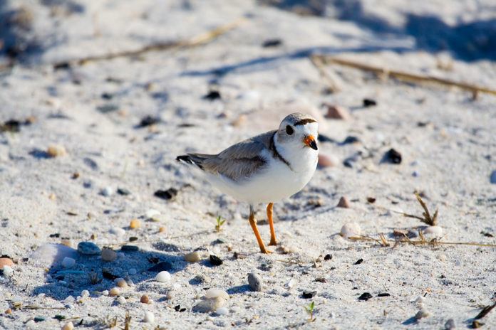 A PIPING PLOVER restoration plan has been released by the Natural Resource Damages Trustee Council for damages relating to the Bouchard Barge 120 oil spill in 2003. / COURTESY WIKIMEDIA COMMONS