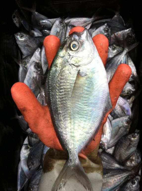 GOOD CATCH: According to the National Oceanic and Atmospheric Administration Fisheries, Rhode Island landed about 66 percent of all butterfish on the East Coast between 1965 and 1995. / PBN PHOTO/JOHN LEE