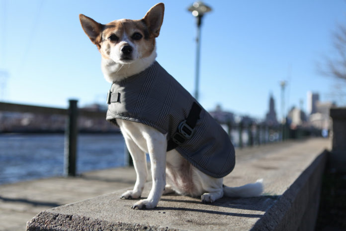 A MIXED BREED models the Cleverpup line of waterproof dog coats from Providence-based Cleverhood, a business that designs and manufactures outerwear. / COURTESY CLEVERHOOD