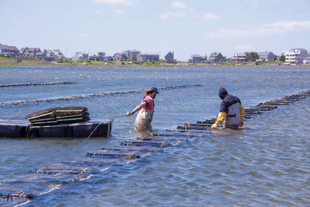 LOCAL FARE: Shellfish harvesters work on Matunuck Oyster Farm off South Kingstown. Rhode Island's local food scene started before that of many larger cities. / COURTESY N. MILLARD/GOPROVIDENCE