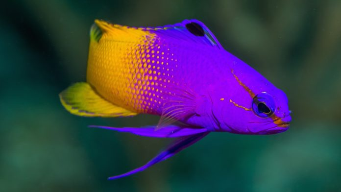 ROGER WILLIAMS UNIVERSITY is partnering with the Grupo Puntacana Foundation to build the Dominican Republic's first commercial fish hatchery, which will grow ornamental fish such as the royal gramma, shown above. / COURTESY ROGER WILLIAMS UNIVERSITY