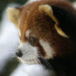 A RED PANDA enjoys the snowy weather in a past winter scene from the Roger Williams Park Zoo./ PHOTO COURTESY ROGER WILLIAMS PARK ZOO