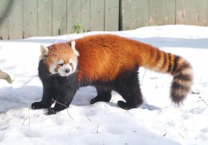 ACTIVE ANIMALS: The colder months are the best time to view the red panda at Roger Williams Park Zoo. / COURTESY ROGER WILLIAMS PARK ZOO
