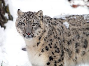 The snow leopard at Roger Williams Park Zoo is more active during the winter than in the summer. / COURTESY ROGER WILLIAMS PARK ZOO