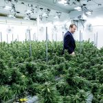 REGULATED DISPENSARY: Seth Bock, CEO of Greenleaf Compassionate Care Center in Portsmouth, one of three regulated marijuana dispensaries in the state, walks among marijuana plants at his Newport facility. / PBN FILE PHOTO/