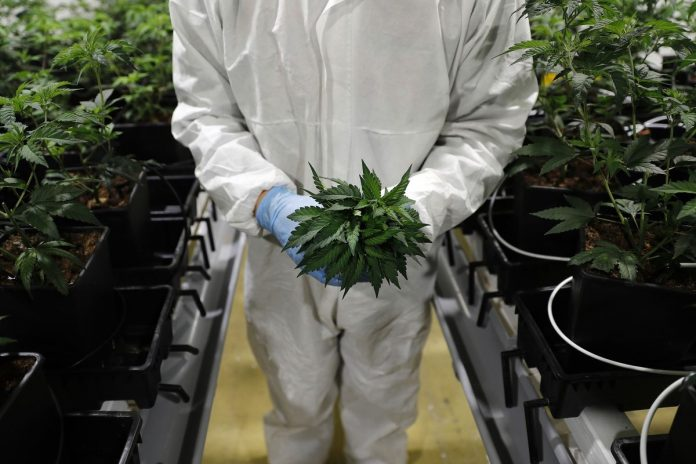 CANNABIS BECOMES LEGAL to sell to those 21 and over at licensed retail stores on July 1 in Massachusetts. / BLOOMBERG FILE PHOTO/ STEFAN WERMUTH