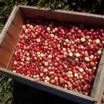 INCLUDED AMONG FOUR UMASS DARTMOUTH-RELATED initiatives in the FY2019 Massachusetts budget is $100,000 for research into the disease-preventing properties of the cranberry at the Cranberry Health Research Center. / COURTESY UMASS DARTMOUTH