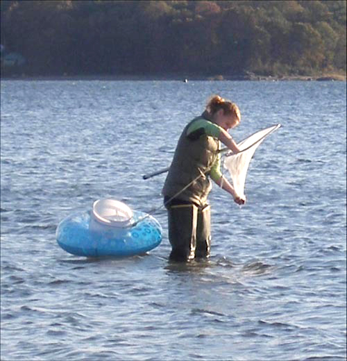 online image:Emily Fields, a biological sciences student at the University of Rhode Island, conducts sampling of macroalgae along Narragansett Bay. Through higher sewer rates, many homes and businesses in northern Rhode Island have been paying for a nearly $1.4 billion tunnel project by the Narragansett Bay Commission to prevent dirty wastewater from overflowing into the bay./PBN FILE PHOTO