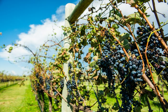 WORLD WINE production rebounded in 2018 to the highest in 15 years. / BLOOMBERG NEWS FILE PHOTO WALDO SWIEGERS
